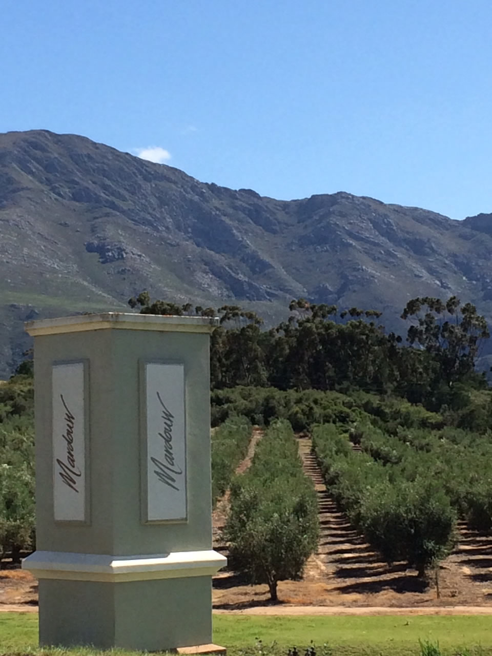 Impact of draught on olive trees in Swellendam, South Africa