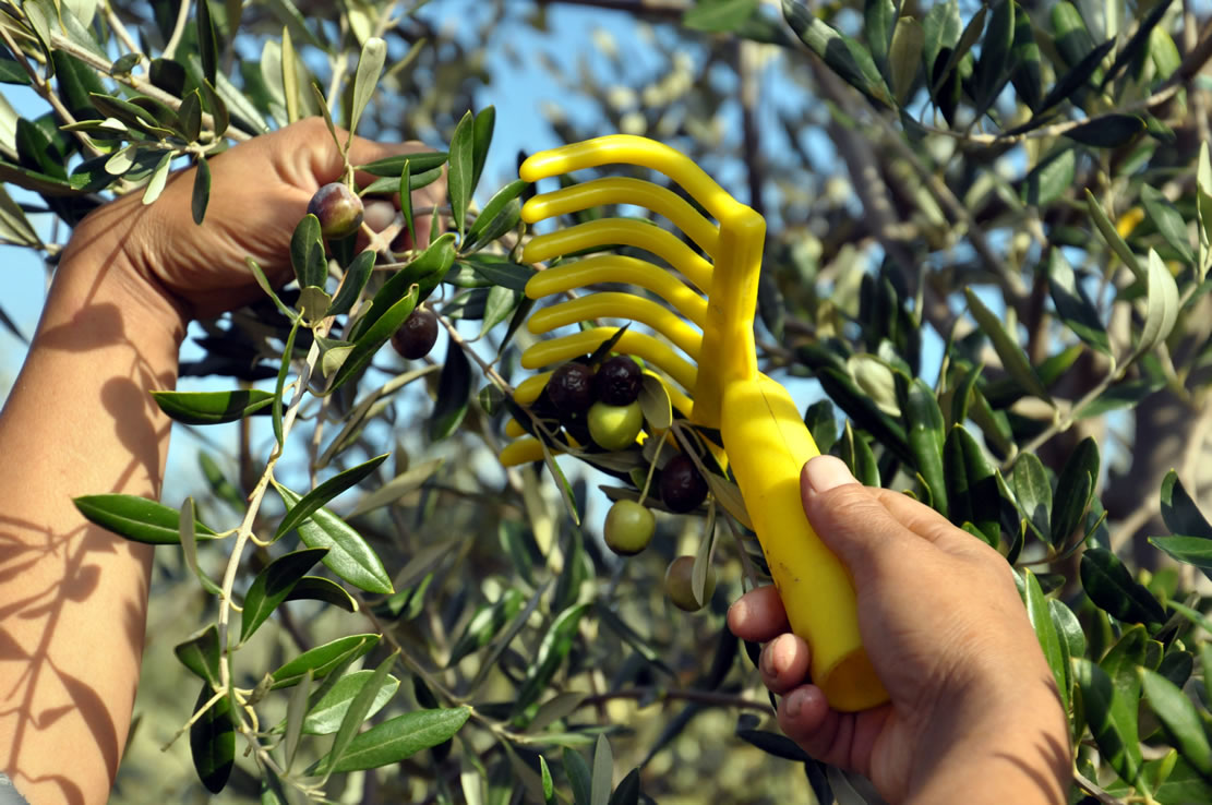 Hand-picking olives