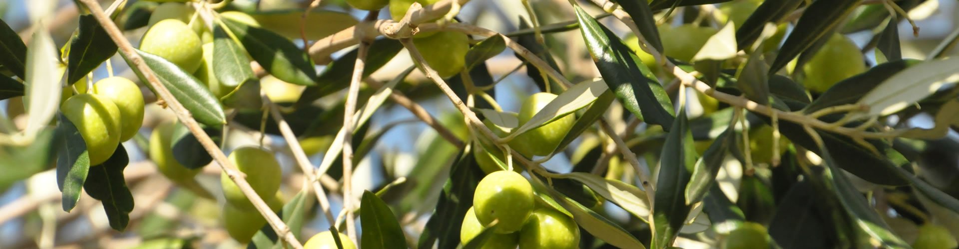 south-africa-olive-oil-10