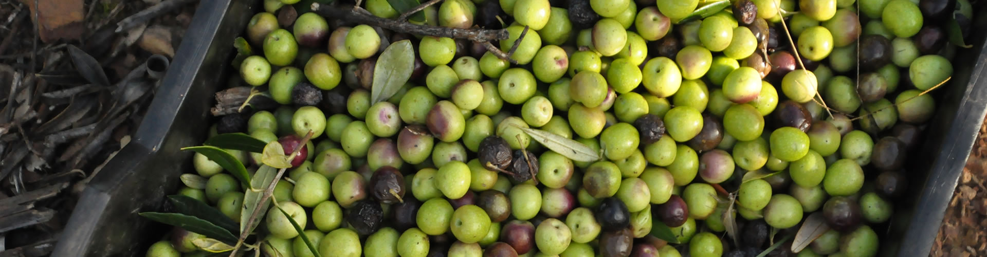 south-africa-olive-oil-5