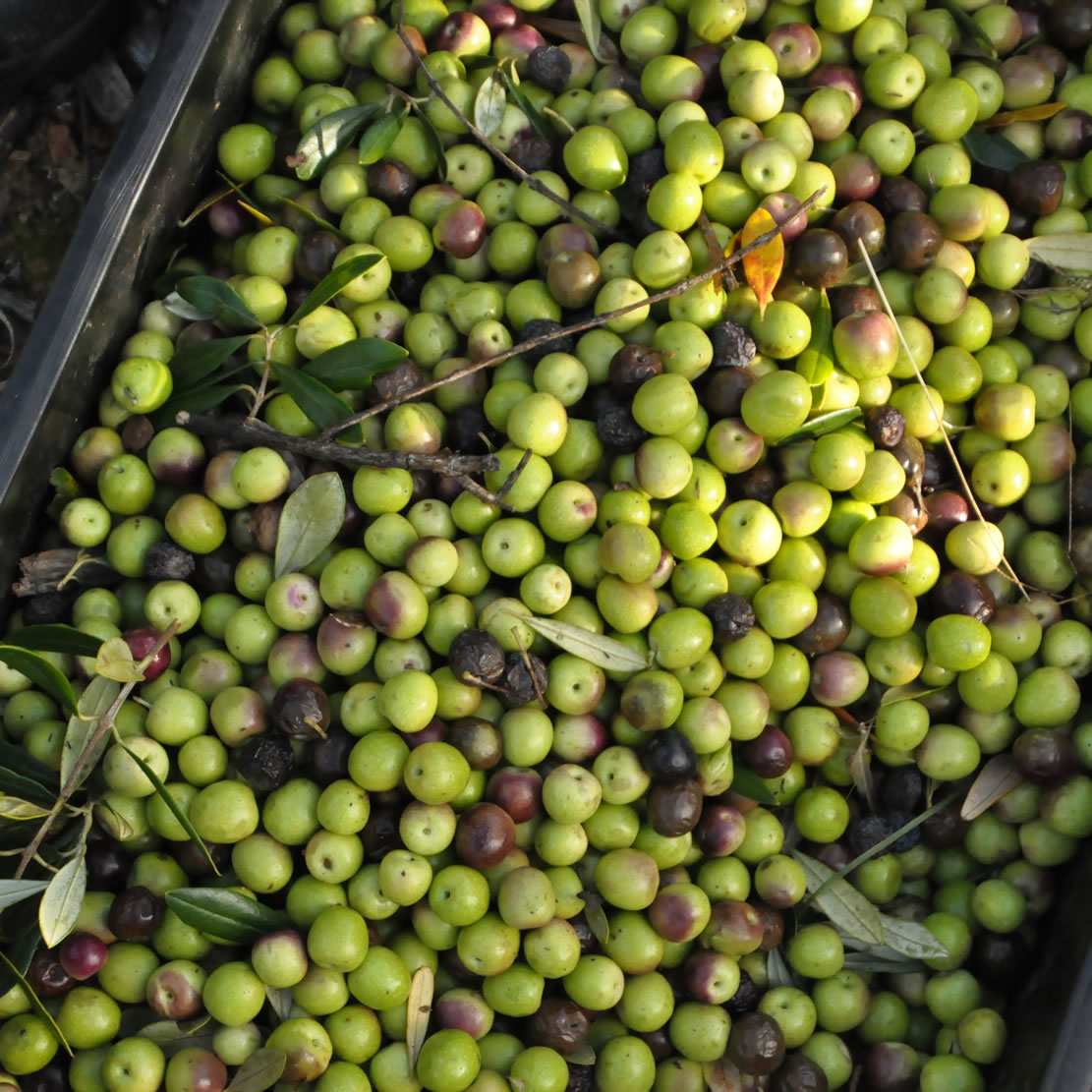 South African olives